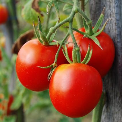 tomates-em-estufa-cursos-cpt